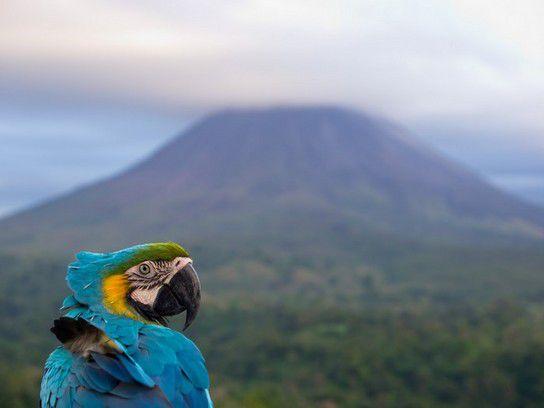 Ara vor dem Vulkan Arenal