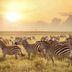 Zebras im Maasai Mara National Reserve