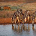 Zebras trinken an einer Wasserstelle