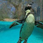 Pinguin im Londener Zoo