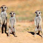 Safari- Erdmännchen