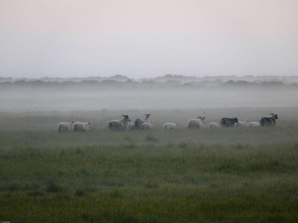 Schafe bei Mitternacht