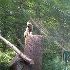 Wildkatze auf Baumstumpf