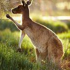 Australiens Wappentier