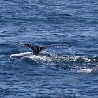Wal, Schwanzflosse
