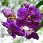 Verbot in Thailand: Orchideen dürfen nicht gepflückt oder ausgeführt werden.