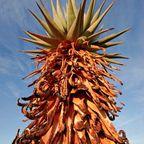 Mopane-Baum