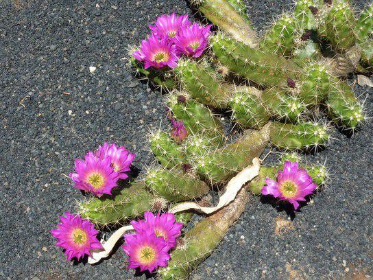 Fernweh, Blühender Kaktus auf Lanzarote