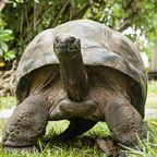 Gestatten, Opa George, Riesenschildkröte