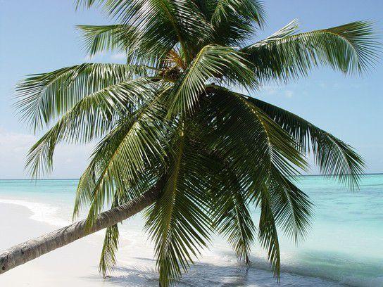 Palme, Velavaru Malediven