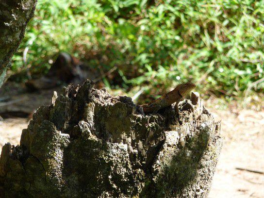 Dschungelbewohner, Koh Samui