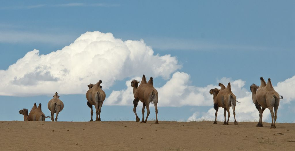 Camel Catwalk