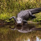 Krokodil/Australien, Südostasien, Zentralafrika, Mittelamerika