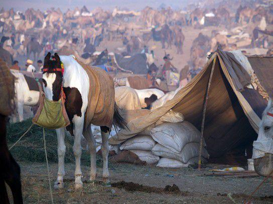 auf dem Kamelmarkt in Pushkar