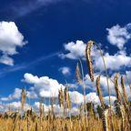 Im Getreidefeld