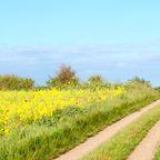 Blühende Rapsfelder auf Langeland
