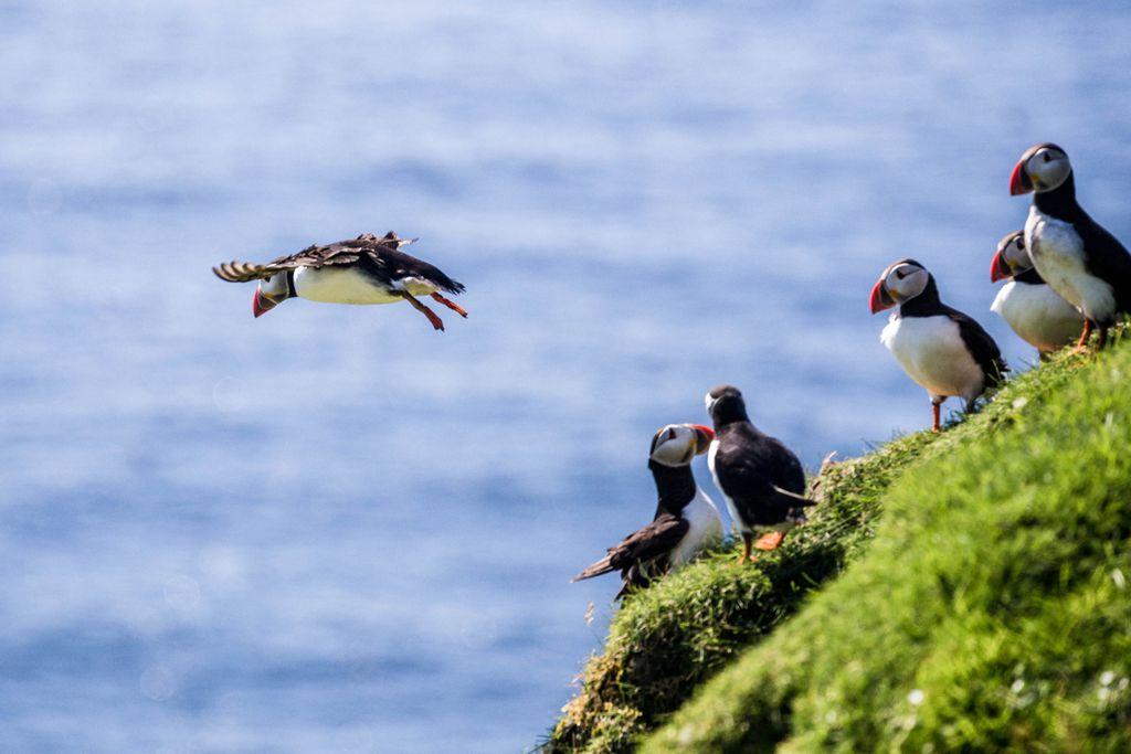 Vestmannaeyjar: Schroffe Küsten mit süßen Bewohnern