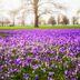 Lilafarbenes Blütenmeer im Husumer Schlosspark