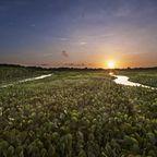Wasserhyazinthen im Orinoco-Delta