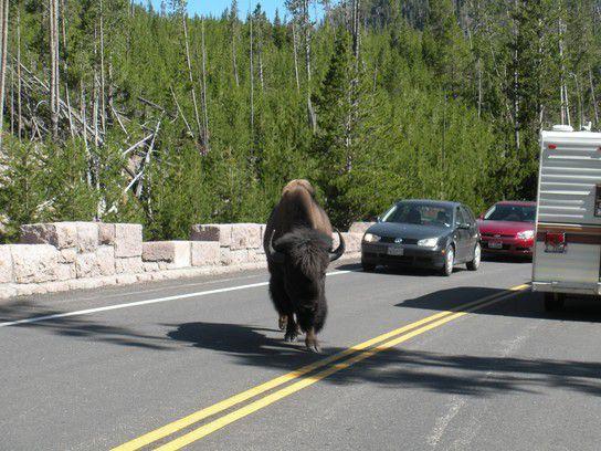 Bison im Yellowstone NP