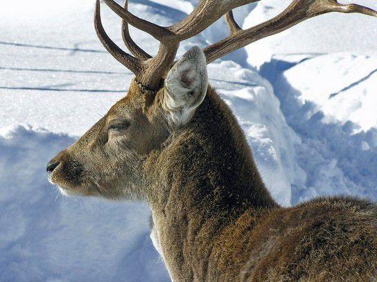 Der Hirsch in gern Alm Pertisau ( Österreich )