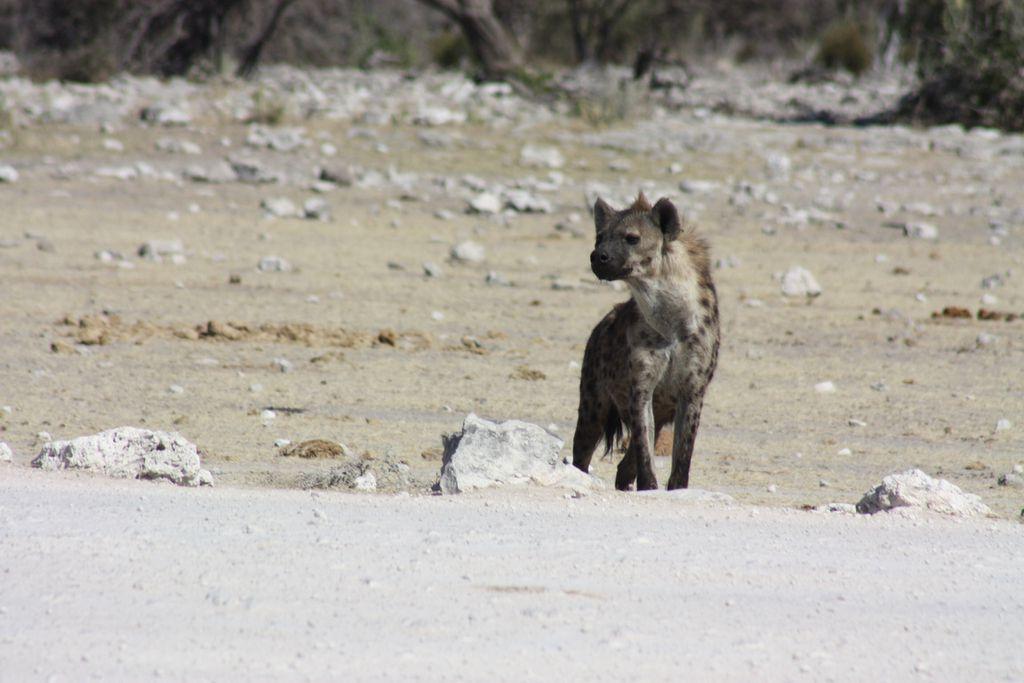 Hyäne auf Futtersuche