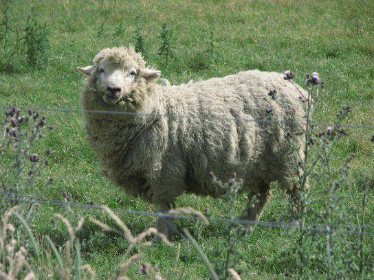 Lamm in Queenstown