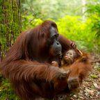 Welterbe in Gefahr: Tropischer Regenwald von Sumatra