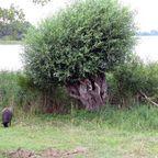 Mecklenburger Seenplatte - Schaf am See