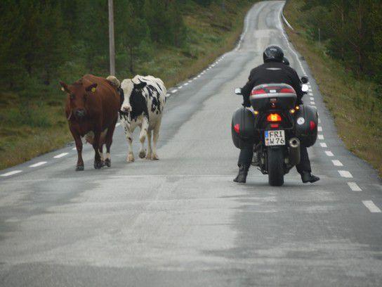 Motorrad und Kühe