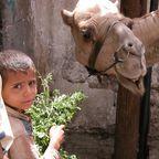 Hungriges Kamel