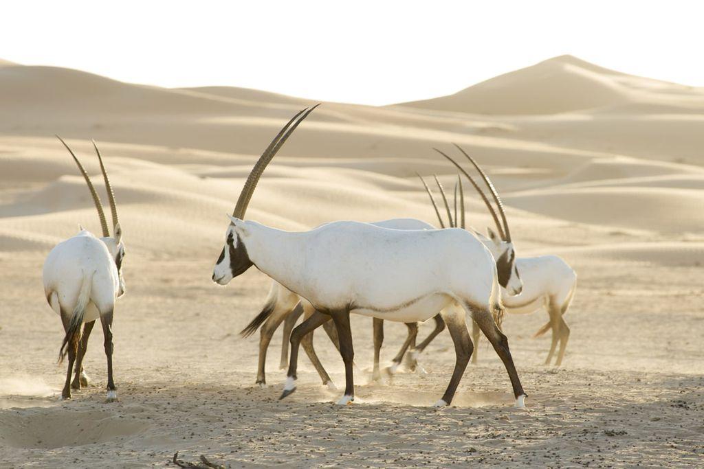 Gazellen in der Wüste