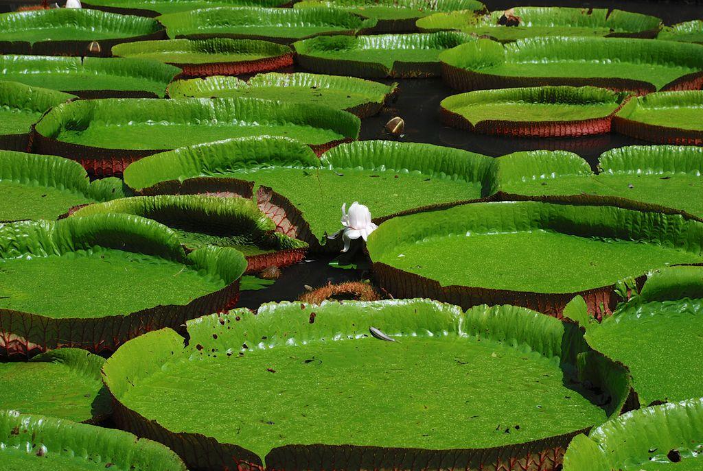 Seerosen im Botanischen Garten - Mauritius