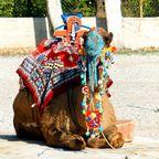 Kamel in Aspendos