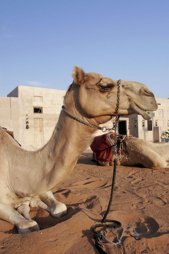Ruhendes Kamel vor traditionellem Wohnhaus