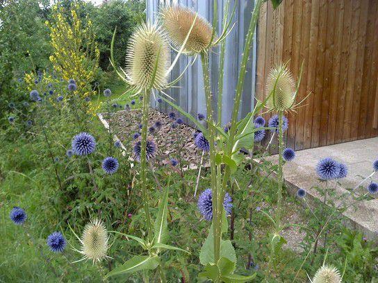 Blüten von (?)Disteln