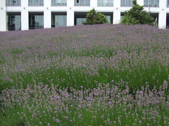 Lavendelfeld 2