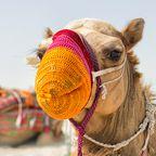 Kamel mit Mundschutz