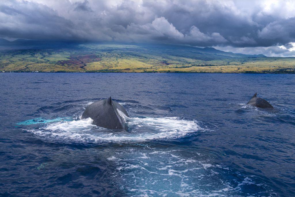 Buckelwale vor Hawaii