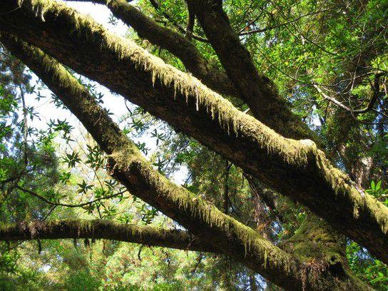 Flechten und Moose wachsen auf einem Baum