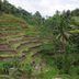 Reisfelder so weit das Auge reicht