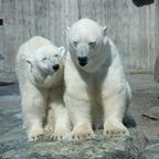 Eisebärenliebe in der Wilhelma