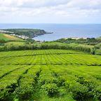 Zwei der drei einzigen Teeplantagen der EU liegen auf den Azoren
