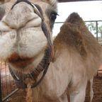 Kamel im Red Center - zum knutschen