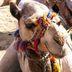 Kamel mit buntem Zaumzeug