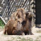 Kamel im Zoo
