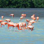 Scharen von Flamingos warten im Norden Yucatáns