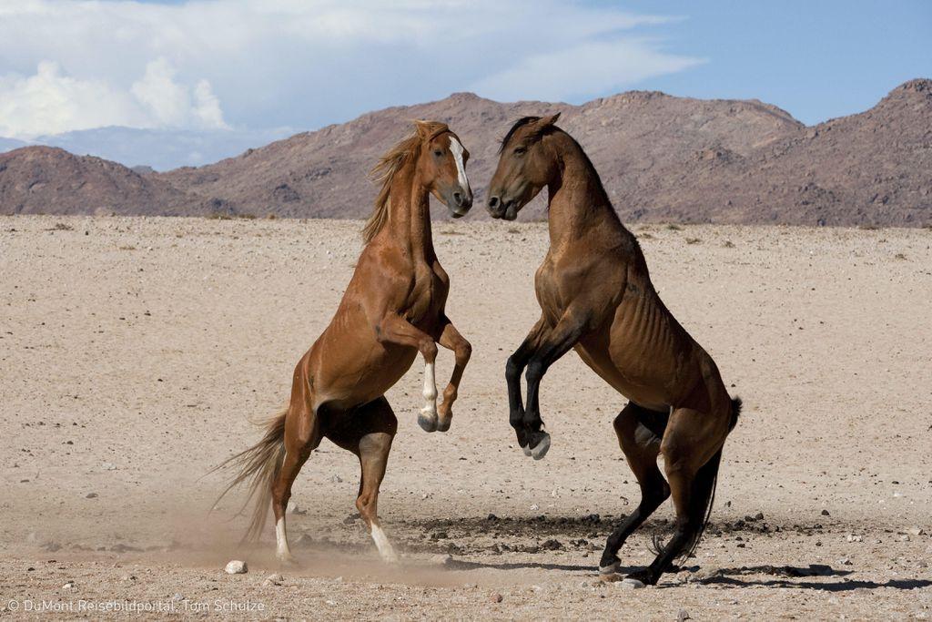 Namibia: Garub, Pferde in der Namib-Wueste