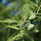 Früchte des Mammutbaumes