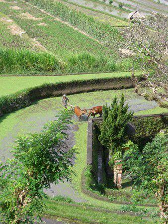 Reisfeld und Wasserbüffel